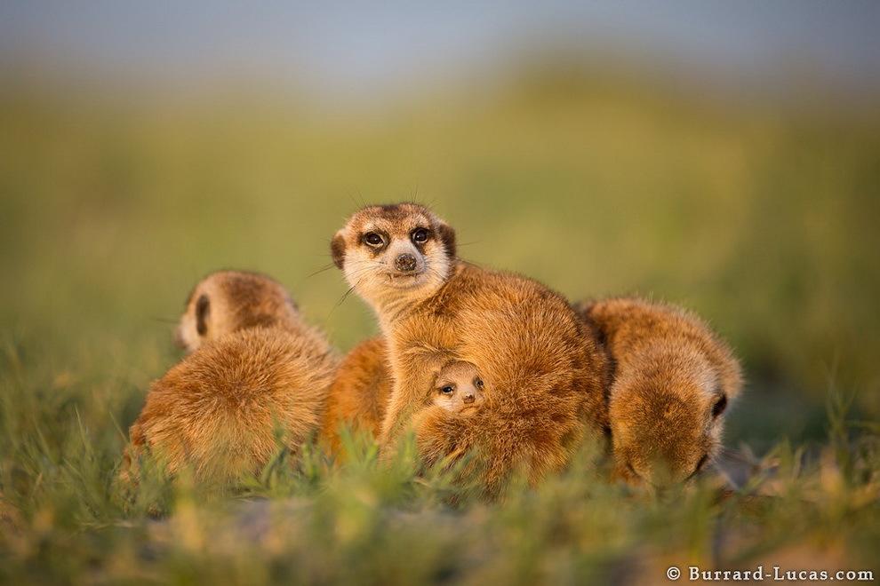 smelie-surikati-19