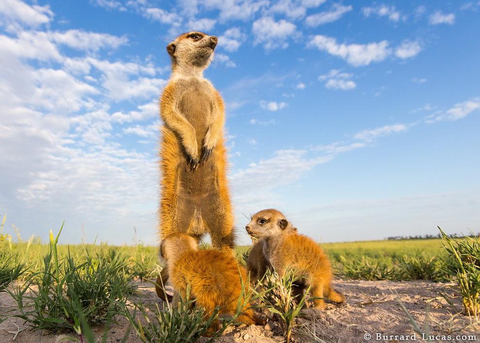 smelie-surikati-20