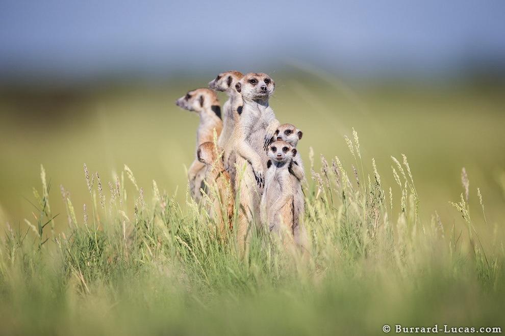 smelie-surikati-3