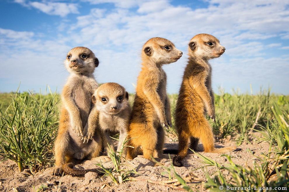 smelie-surikati-8