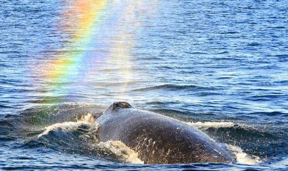mpm-Rainbow_Humpback_-HUV-475884