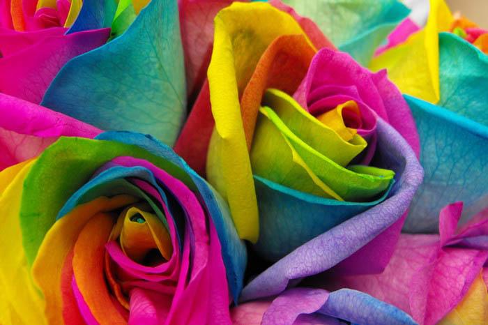 rainbow-roses-4
