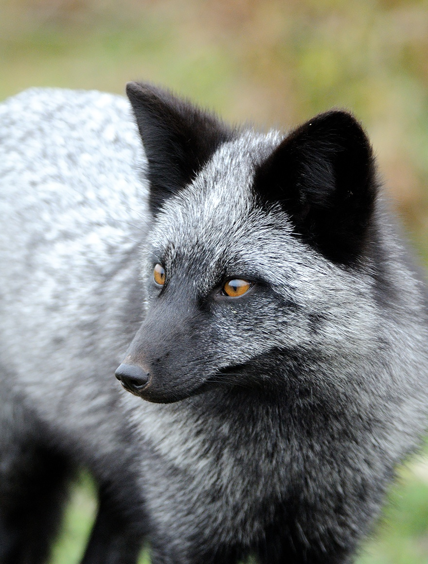 Черно-бурая лисица2