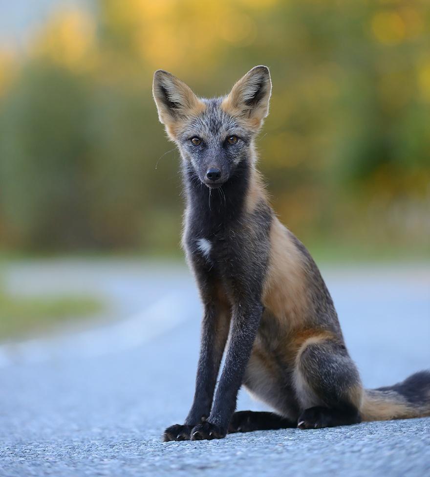 Крестовая лисица