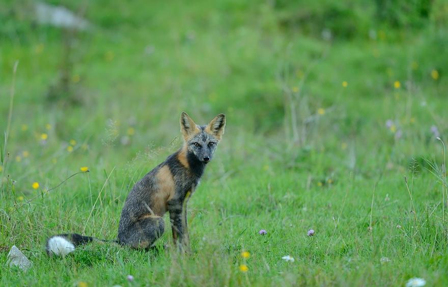 Крестовая лисица2