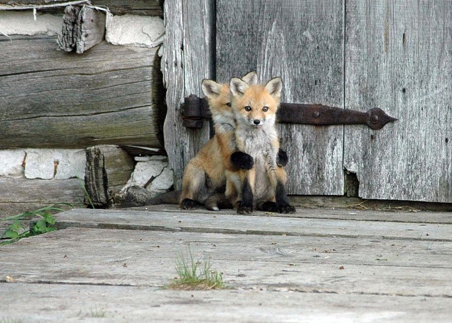 Рыжая лисица3