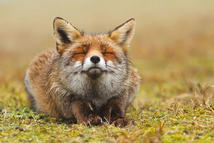 Рыжая лисица4