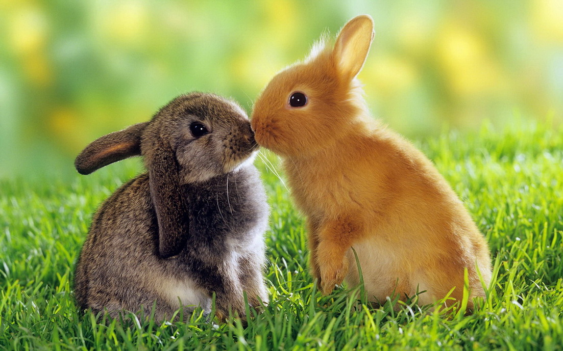 HD-Cute-Animals-rabbits-kissing