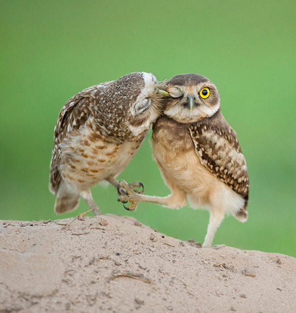 auumo-owls-kissing