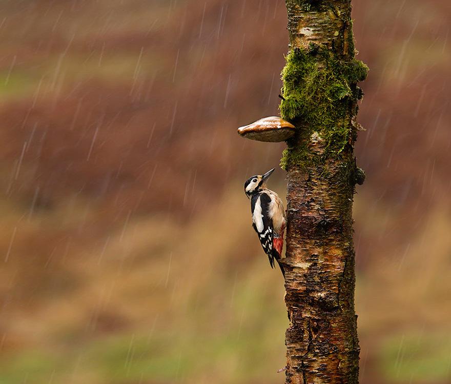 зонтик-трутовик