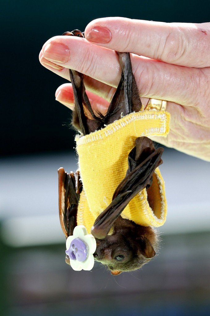 Johnny Depp adopts orphaned Fruit Bat at the Australian Bat Clinic, Australia - 25 Jun 2015
