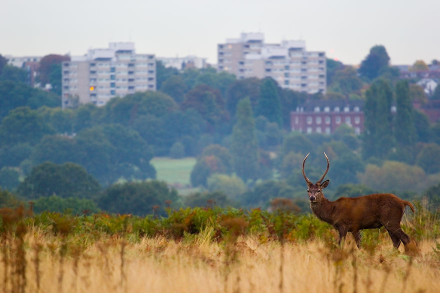 Red Deer in London (22)
