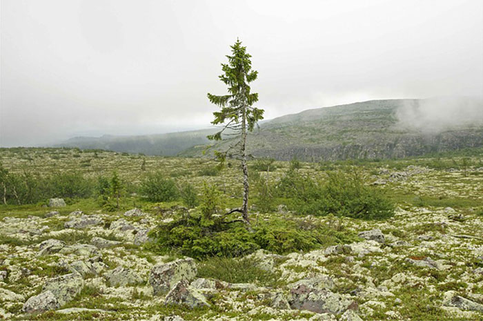 oldest-tree-old-tjikko-sweden-14