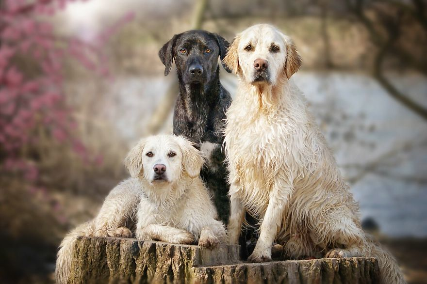 yes-dogs-also-have-best-friends-i-want-to-show-you-the-friends-of-my-golden-retriever-mali-21__880
