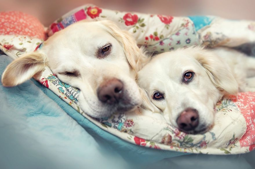 yes-dogs-also-have-best-friends-i-want-to-show-you-the-friends-of-my-golden-retriever-mali__880