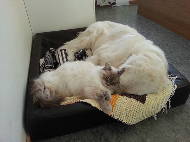 cats-and-dogs-getting-along-35__605