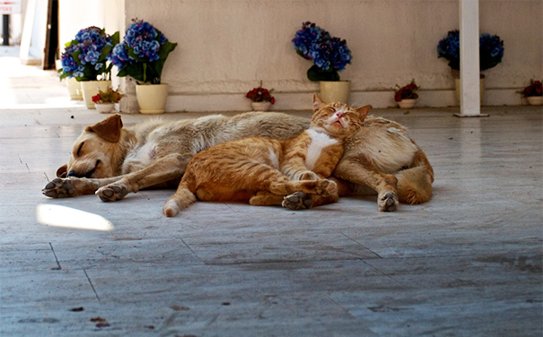 cats-and-dogs-getting-along-41__605