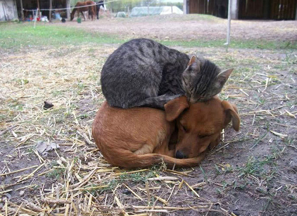 cats-and-dogs-getting-along-42__605
