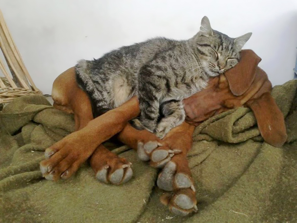 cats-and-dogs-getting-along-45__605