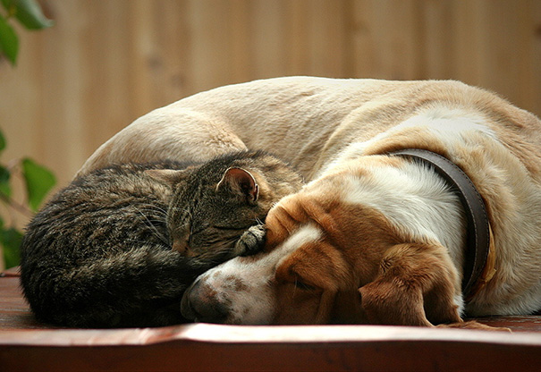 cats-and-dogs-getting-along-80__605