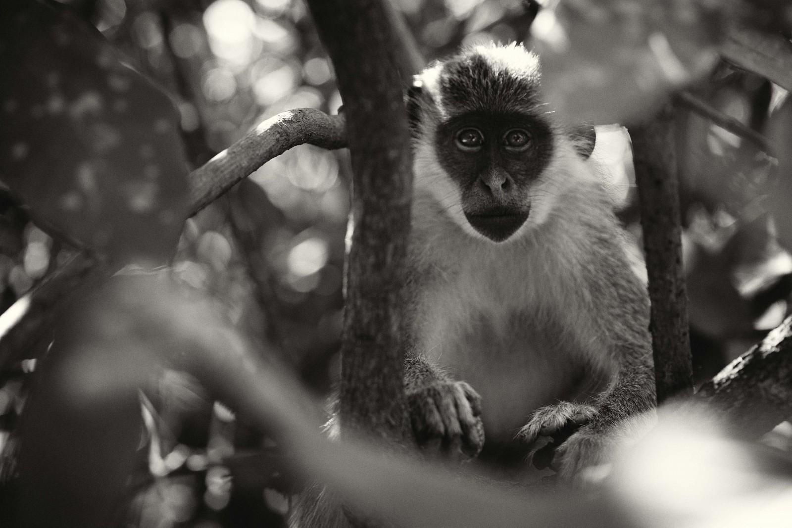 Gambian-monkey,xlarge.1427634544