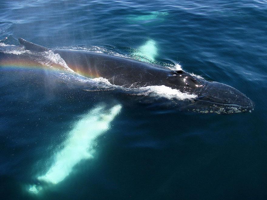 Humpback Whale Brings Rainbow