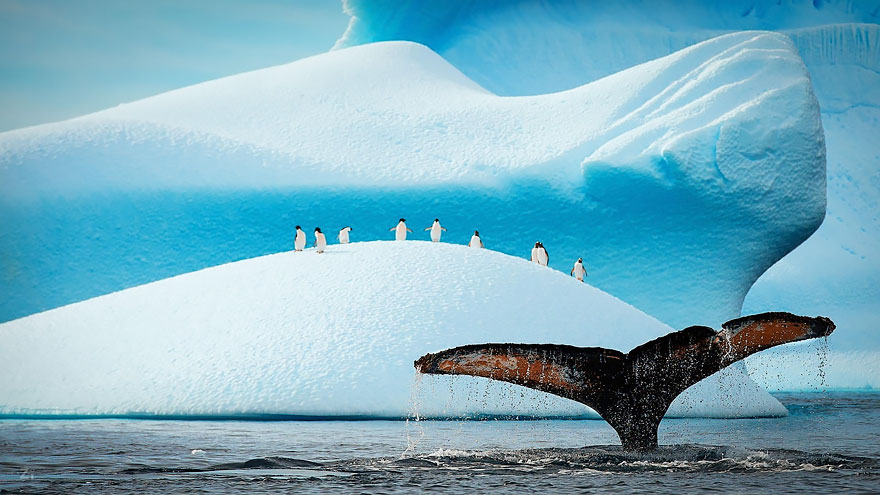 Penguins Watching Humpback Show