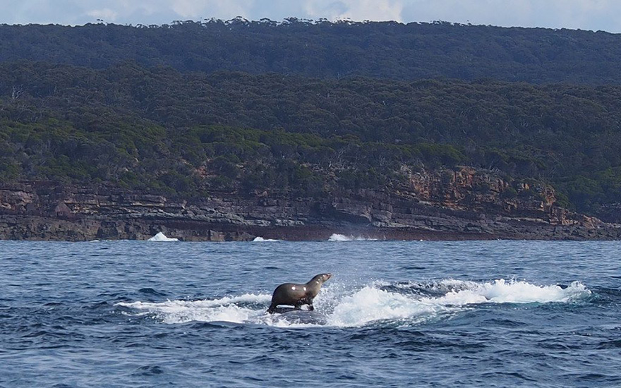 Seal Surfing On A Whale