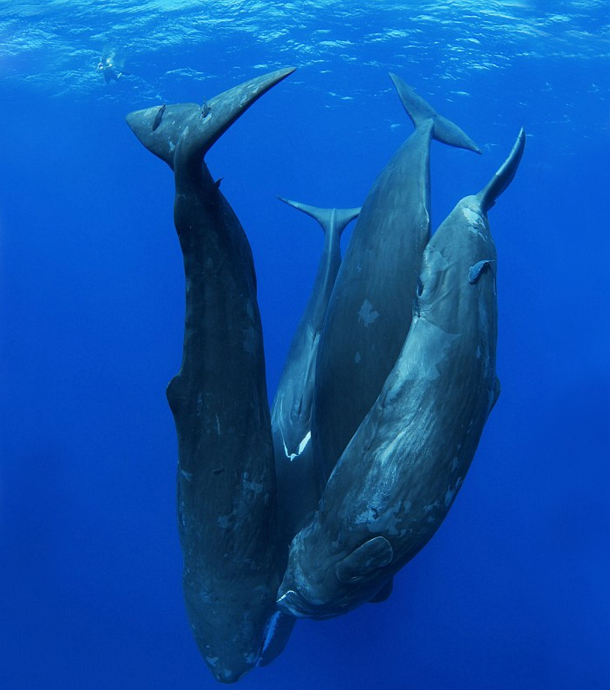 Sleeping Sperm Whales