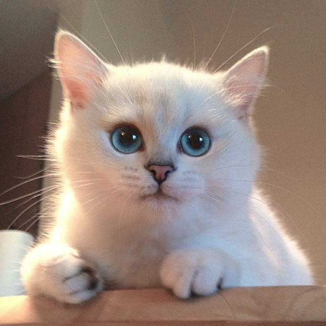 most-beautiful-eyes-cat-coby-british-shorthair-1