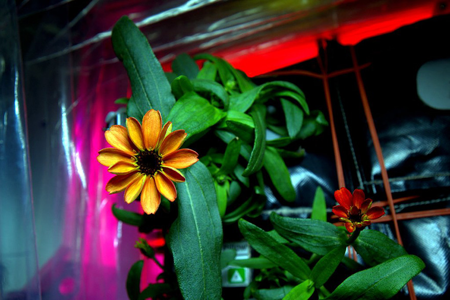 space-first-flower-bloom-nasa-scott-kelly-6