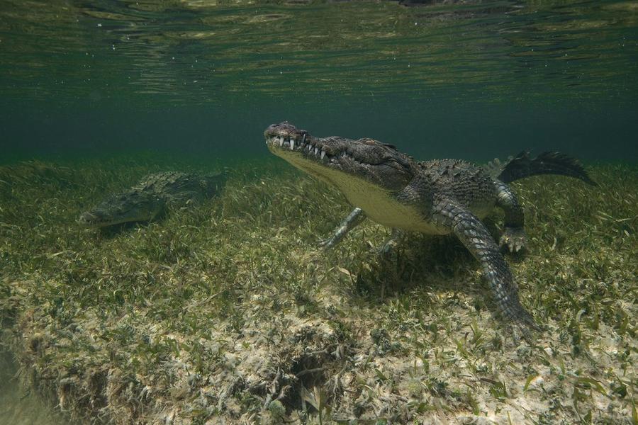 krokodilami-progulka-podvodnaya-eto-interesno-poznavatelno-kartinki_1493481491