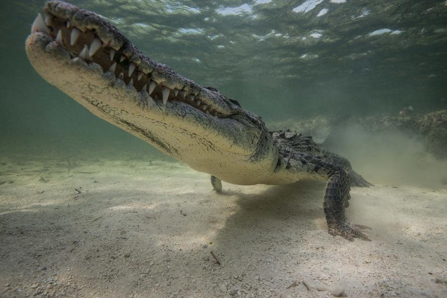 krokodilami-progulka-podvodnaya-eto-interesno-poznavatelno-kartinki_3854413071