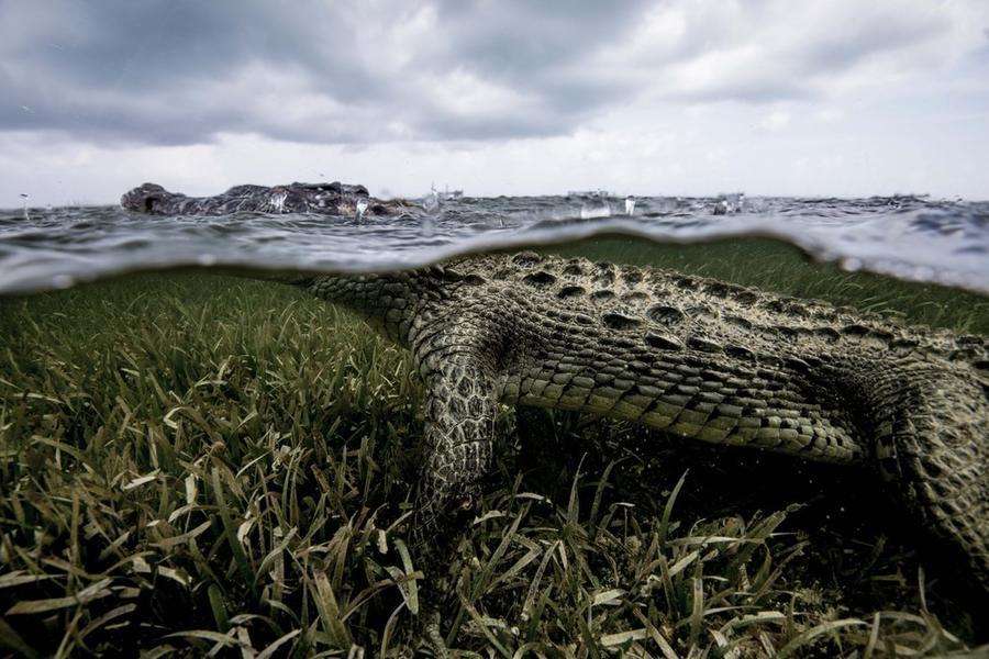 krokodilami-progulka-podvodnaya-eto-interesno-poznavatelno-kartinki_5422691010
