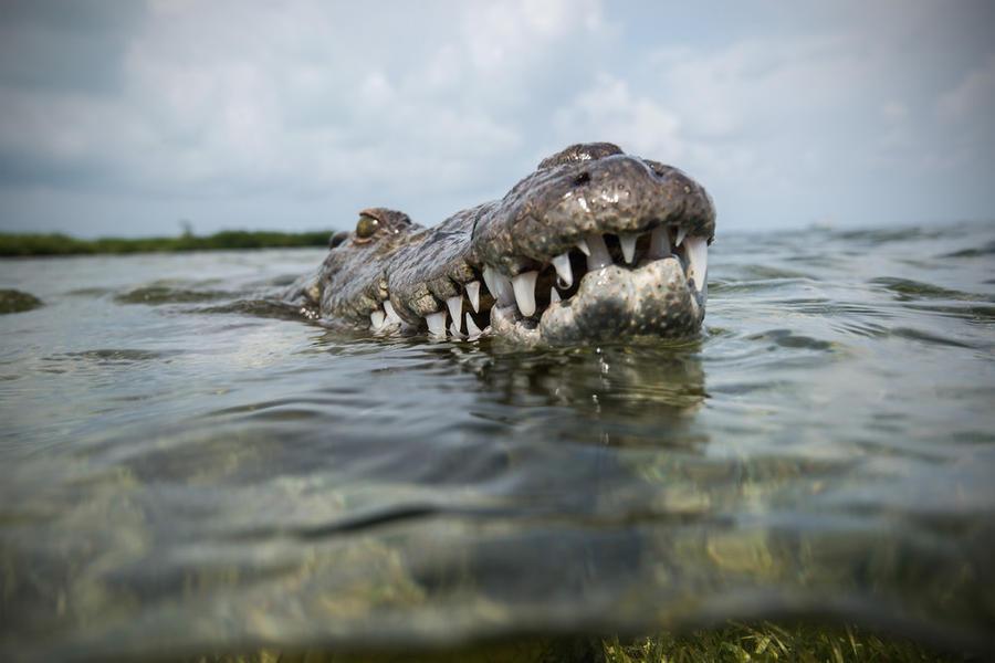 krokodilami-progulka-podvodnaya-eto-interesno-poznavatelno-kartinki_609233939